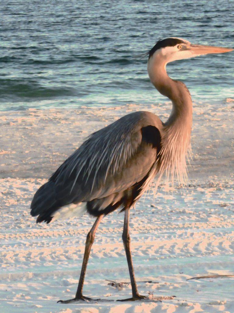Oiseau e promenant en bord de mer à Pensacola