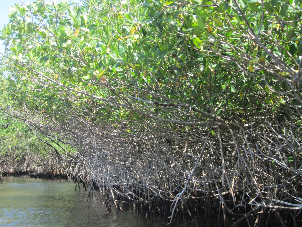 Mangrove, The Everglades